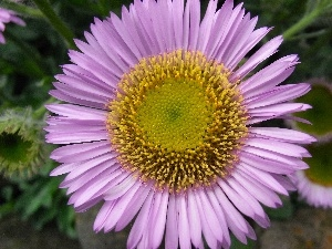 Alpine aster, Colourfull Flowers