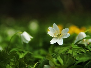 anemone, Colourfull Flowers, White