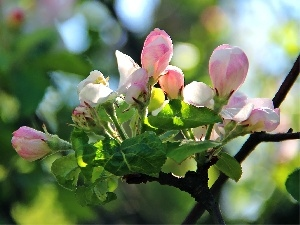 apple-tree, donuts, Blossoming
