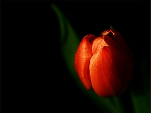 Black, background, tulip