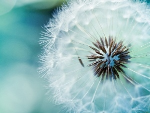 Blue, background, dandelion