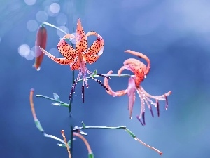 background, Tiger lily, Blue