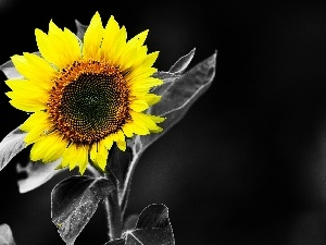 background, engaging, Sunflower, Black