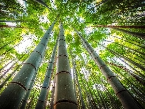 bamboo, vertices, trees, viewes