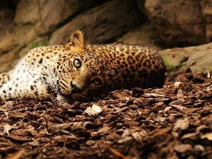 Leopards, bark, lying