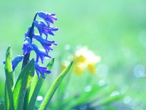blue, Colourfull Flowers, hyacinth