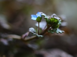 blue, Colourfull Flowers, speedwell