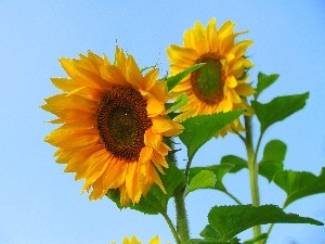 Blue, Sky, Nice sunflowers