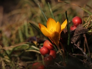 blueberries, Red, Fruits, Yellow, Spring, crocus