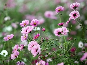 blur, Cosmos, Meadow, Pink