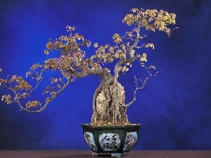 sapling, Bonsai, pot