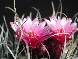 Flowers, cactus, Pink