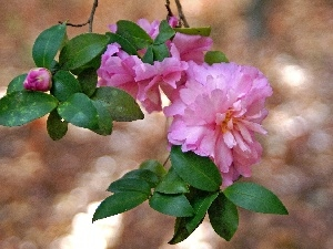 camellias, leaves, Colourfull Flowers