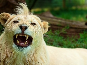 canines, bangs, White, Lion
