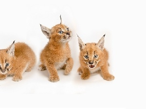 Tiny, Caracal, Three