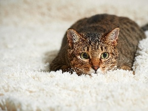 White, carpet, cat