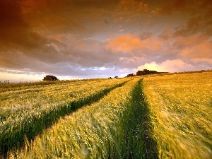 cereals, field, west, sun