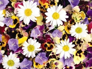 chamomile, Flowers, pansies, different, ##, color