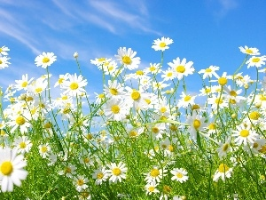 chamomile, Flowers, blue, Sky