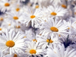 chamomile, Flowers