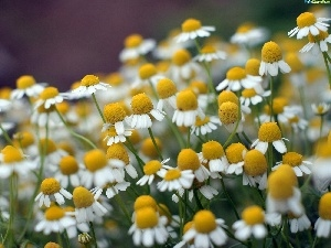 Meadow, Chamomile Common