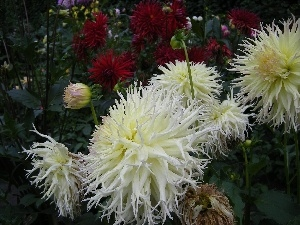 chrysanthemum, Garden, Flowers, summer