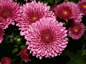 chrysanthemum, Pink