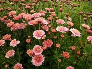 Chrysanthemums, Flowers, change, Pink