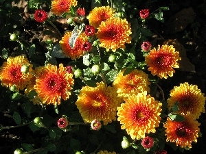 Chrysanthemums, Flowers