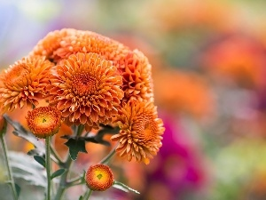 Chrysanthemums, Orange