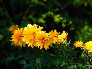 Chrysanthemums, Yellow