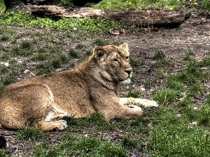 grass, Clumps, laying, Lod on the beach, Lioness