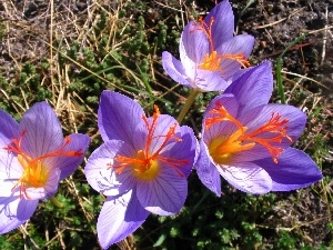 colchicums, Flowers