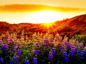 Flowers, color, rays of the Sun, lupine, Meadow
