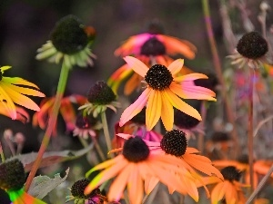 colors, Rudbeckia