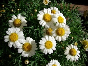 chamomile, Colourfull Flowers