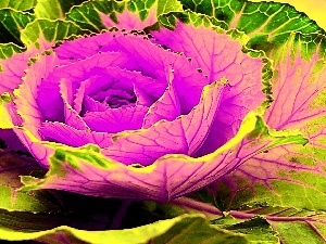Colourfull Flowers, colors, cabbage