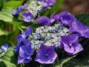 hydrangea, Colourfull Flowers