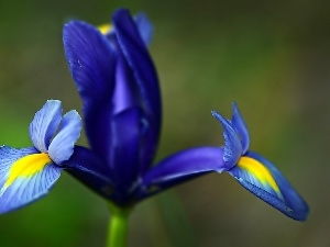 iris, Colourfull Flowers