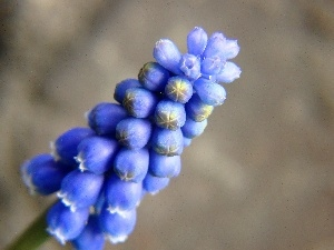 Colourfull Flowers, Muscari, spring