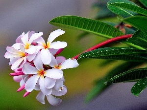 Plumeria, Colourfull Flowers