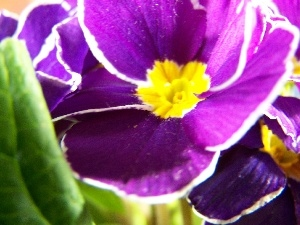 Colourfull Flowers, primrose, Violet