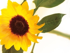 Colourfull Flowers, sunflower, Yellow