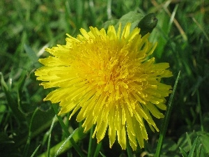 Close, Common Dandelion