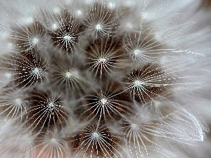 Common Dandelion, Seeds, dandelion
