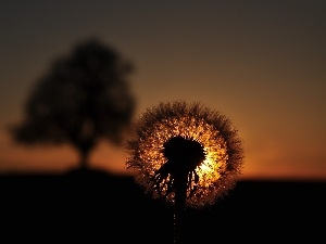 common, puffball, Great Sunsets, dandelion