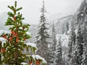 cones, Spruces, Mountains, snow