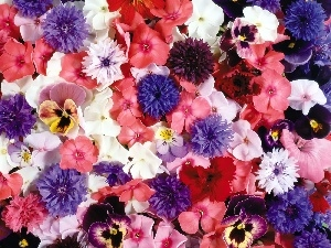 cornflowers, phlox, color, pansies, Flowers