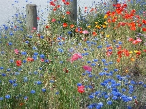 papavers, cornflowers, Meadow
