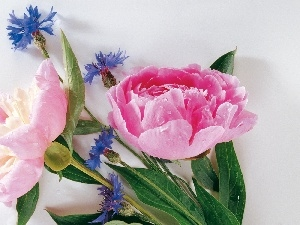 cornflowers, Blue, bouquet, Peonies, flowers